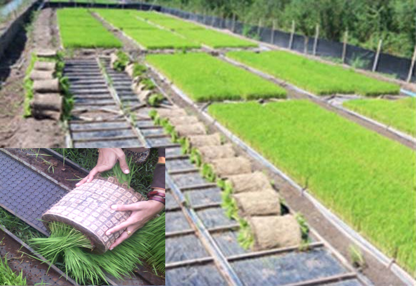 TECHNOLOGY ROLLING OF DAPOG / TRAY SYSTEMS (Rice Planting Machine Rice Transplanter)